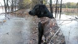 North Texas Dog Trainers|Retriever on hunting trip in north texas